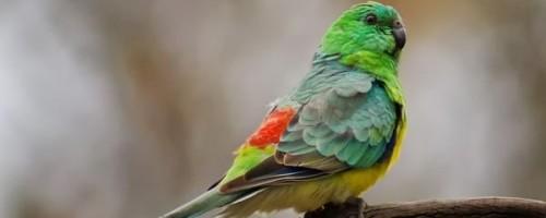 Содержание и разведение певчих попугаев в домашних условиях