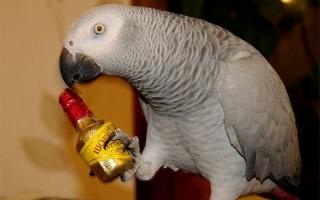 Жако или африканский серый попугай
