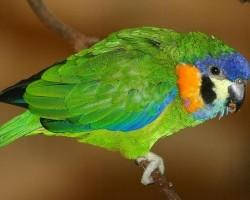 Существующие виды маленьких попугаев