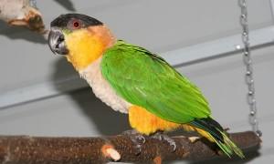 Черноголовый попугай каик