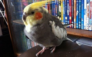 Распространенные болезни попугаев корелла и их лечение