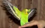 Почему попугай стал плохо или вовсе не может летать