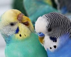 Как точно определить пол волнистого попугая