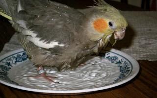 Купание попугая кореллы в домашних условиях