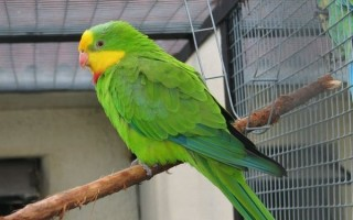 Описание австралийских попугаев