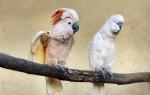 Известные виды попугая какаду