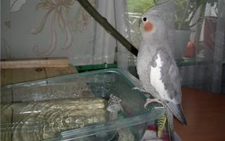 Попугай корелла – уход и содержание в домашних условиях