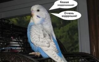 Подходящие имена для мальчиков волнистых попугаев