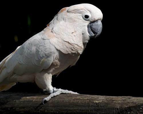 Какаду белый и его среда обитания