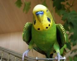 Почему у попугая дрожат крылья