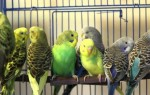 Уход и содержание волнистых попугайчиков
