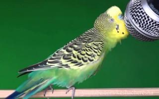 Трели и песни у волнистых попугаев