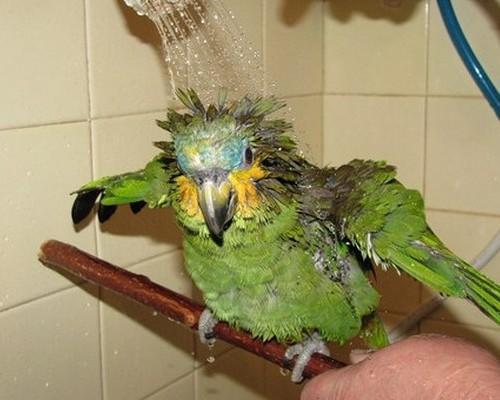 Как купать волнистого попугая: рекомендации и советы