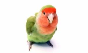 Может ли попугай неразлучник жить один в клетке
