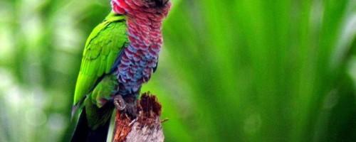 Повадки веерных попугаев