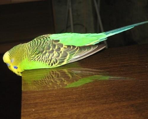 Причины поноса у попугая