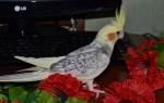 Сколько стоит красивый попугай корелла