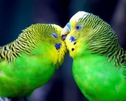 Забавные брачные игры волнистых попугаев