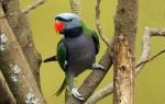 Китайский кольчатый попугай: описание вида