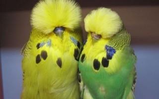 Красивый волнистый (выставочный) попугай чех. Особенности его внешнего вида