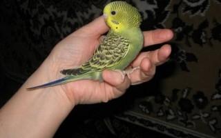 Сколько лет могут прожить волнистые попугаи в домашних условиях