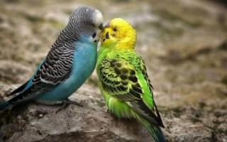 Обязательно ли приобретать пару волнистому попугаю