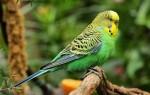 Как послушать голоса волнистых попугаев