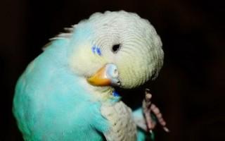 Волнистый попугай постоянно чешется: причины и рекомендации