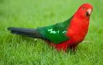 Описание внешнего вида королевских попугаев