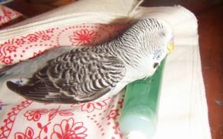 От чего может неожиданно умереть ваш волнистый попугай