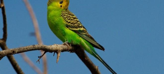 О диких волнистых попугаях