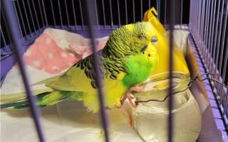 Болезни зоба попугая и его лечение