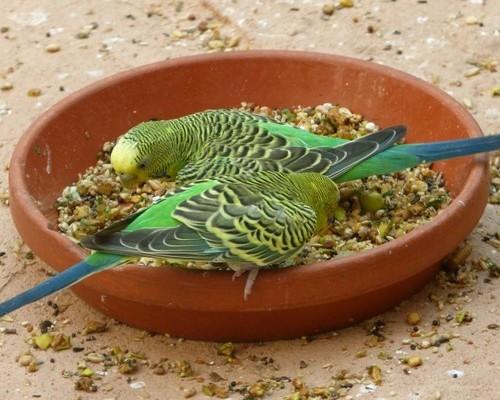 Волнистый попугай: питание и уход