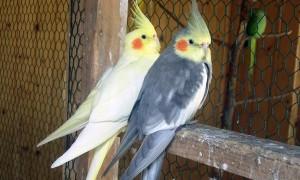 Как быстро отличить мальчика попугая корелла от девочки