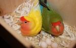 Сколько дней высиживают свои яйца попугаи неразлучники