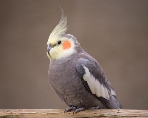 Какие породы относятся к средним по размеру попугаям
