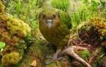 Большой совиный попугай