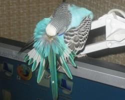 Как вывести блохи у попугая: основные методы лечения