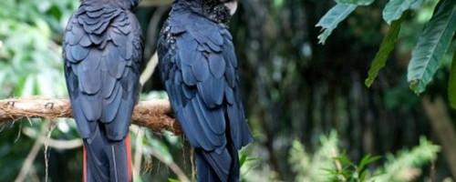 Необычный траурный какаду и его виды