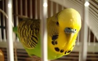 Как выбрать подходящего волнистого попугая