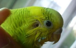 Где у попугая расположены уши