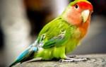 Все виды и породы попугаев
