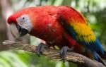 Яркий красный ара