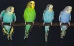Сколько обычно стоит волнистый попугай