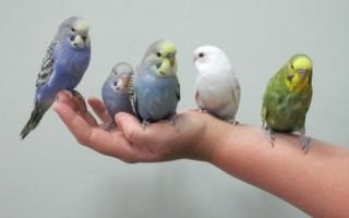 Как приручить к рукам волнистого попугая, самый легкий способ