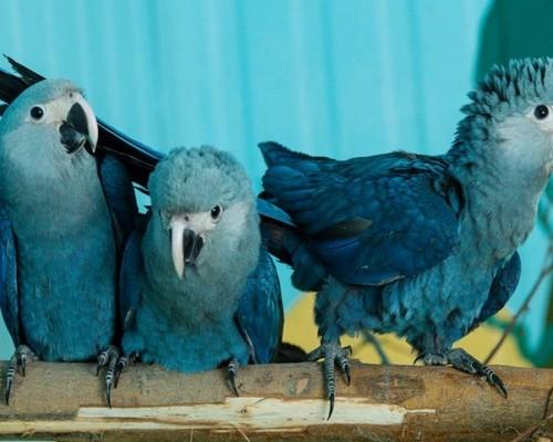О голубых попугаях ара