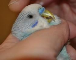 Как правильно обрезать клюв попугаю