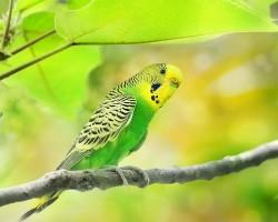 Что делать если попугай улетел на улицу