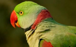 Александрийский попугай: история вида