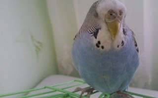 Как спит попугай